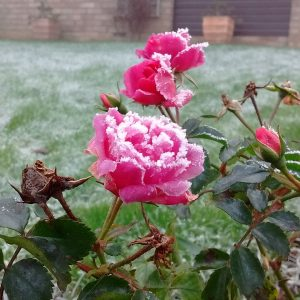 Roses laced with frost
