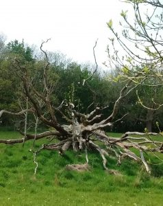 Network of roots from an upturned tree