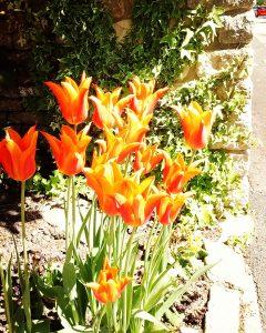 Tulips in Hawkesbury Upton