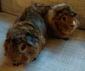 Two tufty, black-eyed guinea pigs.