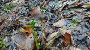 Fiddlehead ferns sprouting along the path