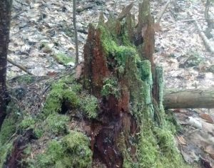 Mossy, jagged stump