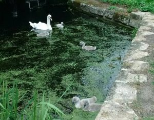 Swan and five young cygnets on the canal