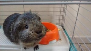 Guinea pig terminally dissatisfied by food dish.