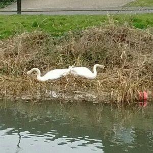 Tail to tail, the swans fortify their nest.