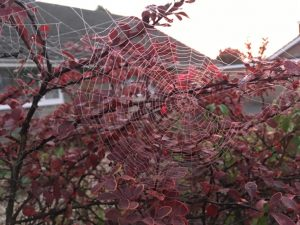 Early morning web on a reddened bush