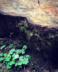 Outer rings of a tree stump, beside a patch of clover with a single blossom.